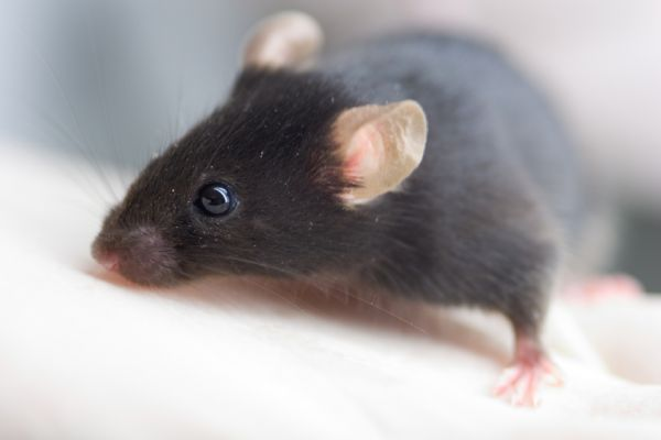 Black mouse close up
