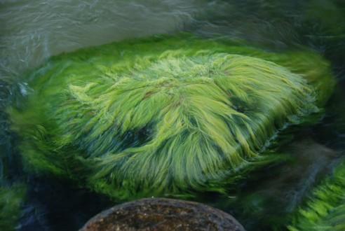 Algae(1)
