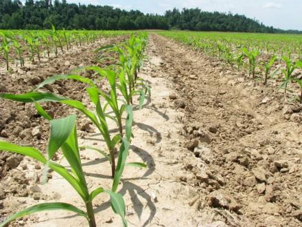 corn rows(2)