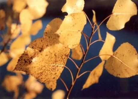 poplar tree(2)