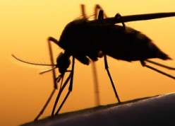Mosquito_cropped